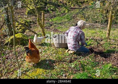 Older woman working weeding & trug outside in a country garden with free range cockerel chickens in spring in Carmarthenshire Wales UK  KATHY DEWITT - Stock Photo