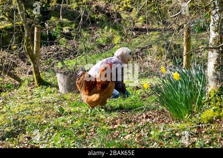Older woman working weeding outside & trug in a country garden with free range cockerel chickens in spring in Carmarthenshire Wales UK  KATHY DEWITT - Stock Photo