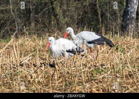 Sythen, NRW, Germany. 28th Mar, 2020. Wild white storks indicate a first glimpse of spring as they return to their summer quarters near Sythen in the Munsterland countryside in beautiful sunshine. Several pairs of the rare large migratory bird have returned from Africa and Spain every year to nest and bring up their young around the area. Credit: Imageplotter/Alamy Live News - Stock Photo