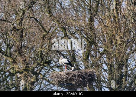 Sythen, NRW, Germany. 28th Mar, 2020. A breeding pair of white storks in their nest. Wild white storks indicate a first glimpse of spring as they return to their summer quarters near Sythen in the Munsterland countryside in beautiful sunshine. Several pairs of the rare large migratory bird have returned from Africa and Spain every year to nest and bring up their young around the area. Credit: Imageplotter/Alamy Live News - Stock Photo