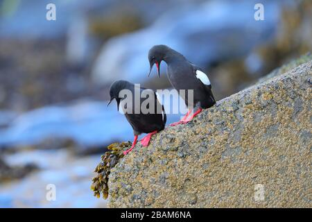 A pair of adult breeding plumage Black Guillemots (Cepphus grylle arcticus) on a rock showing off their red feet near their nest in Oban, Scotland, UK - Stock Photo