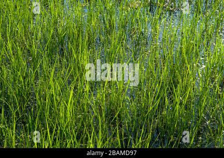 Reserva Natural Riet Vell, Delta de l'Ebre, Amposta, Montsià, Catalunya - Stock Photo