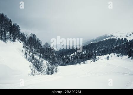 Snow-covered spruce trees in the Caucasus mountains, Sochi, Russia.