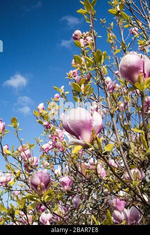 Pink Magnolias set against a blue spring sky - Stock Photo