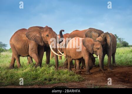 bunch of African red elephants in the savanna, travel Africa Kenya safari tours in Tanzania, elephant family in the wild in Uganda Tsavo East, Ambosel