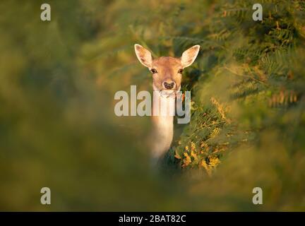 Close-up of a Fallow deer (Dama dama) standing in fern, UK.