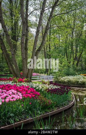 Tulips in bloom at the Keukenhof Botanical garden. Lisse, South Holland, The Netherlands, Europe. - Stock Photo