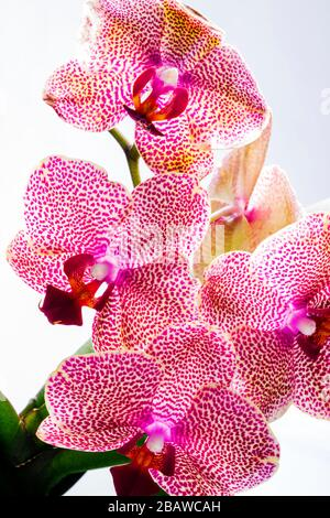 Close-up of blooming Orchid flower; Orchidaceae; one of the two largest family of flowering plants - Stock Photo