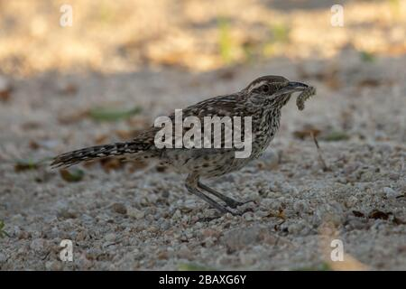 Fast Cactus Wren (Campylorhynchus brunneicapillus) hunting - Stock Photo
