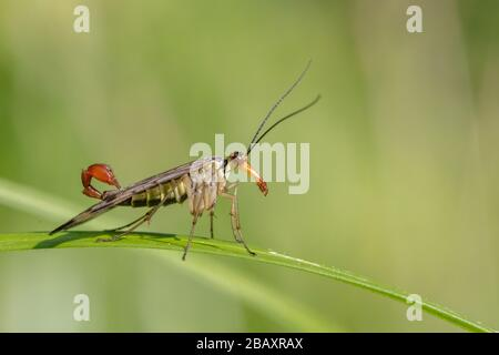 Male common scorpionfly (Panorpa communis) resting on a leaf - Stock Photo