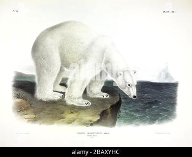 Plate 91 Polar Bear (Ursus Maritimus) from The Viviparous Quadrupeds of North America, John James Audubon, Very high resolution quality edited image - Stock Photo