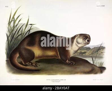 Plate 122 Canada Otter (North American River Otter) The Viviparous Quadrupeds of North America, John James Audubon, Very high resolution quality image Stock Photo