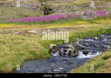 Hiking trail in Aosta valley. Blooming  Chamaenerion angustifolium in the background and a wild mountain stream in the foreground.