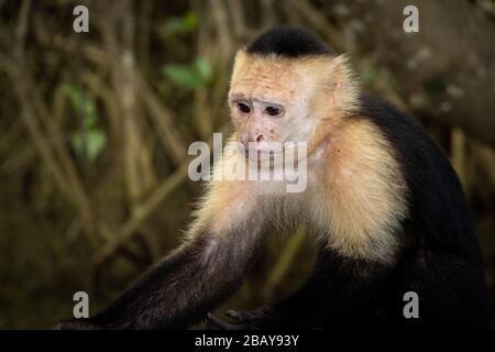 A White-faced capuchin monkey (Cebus imitator) in the mangroves of Isla Damas in Costa Rica.