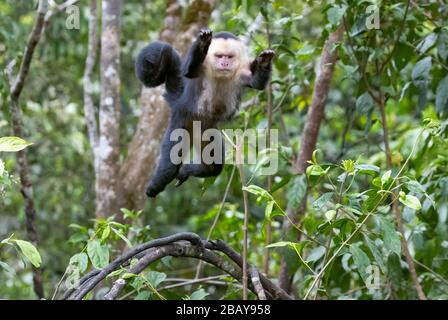 A White-faced capuchin monkey (Cebus imitator) jumps through the treetops in Costa Rica's cloud forest.