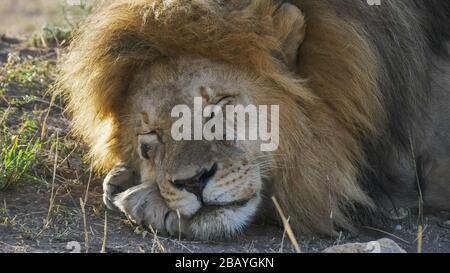 a sleepy male lion at serengeti np