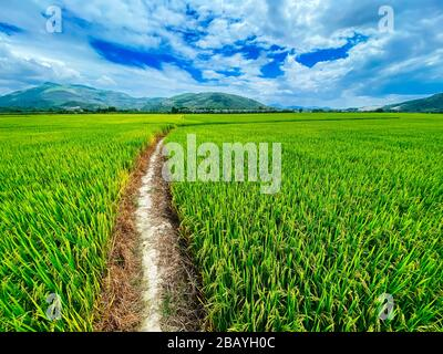 Rice field, green rice sprouts in the meadow. Young green rice. Farmland. Mountain view, agriculture in Asia. - Stock Photo