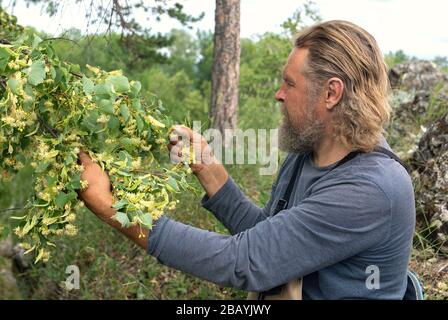 Side view portrait of old bearded man in forest picking up carefully blossom of linden tree. Care with respect to gifts of nature. Forester. Nature pr - Stock Photo
