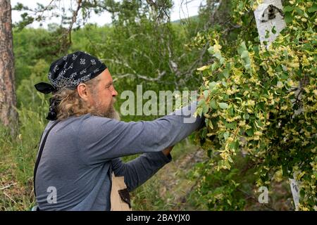 Side view portrait of old bearded man in black bandana in forest picking up carefully blossom of linden tree into bag on his neck. Care with respect t - Stock Photo