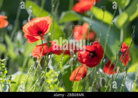 Klatsch-Mohn, Klatschmohn, Mohnblume, Klatschrose, Mohn, Papaver rhoeas, Corn Poppy, Field Poppy, common poppy, corn rose, Flanders poppy, red poppy, - Stock Photo