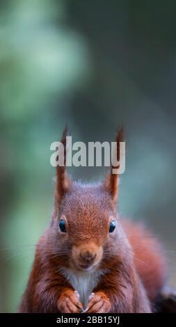Red squirrel or Eurasian red squirrel (Sciurus vulgaris). Alava, Basque Country, Spain