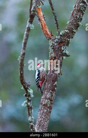 PICO MEDIANO - Middle spotted woodpecker (Dendrocoptes medius). - Stock Photo