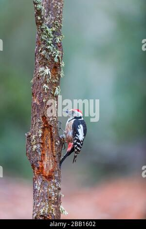 Middle spotted woodpecker (Dendrocoptes medius). - Stock Photo