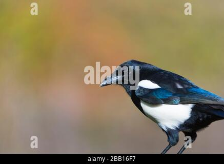Eurasian magpie or common magpie (Pica pica). - Stock Photo
