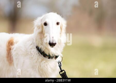 Adorable borzoi dog walks at spring field, russian sighthound - Stock Photo