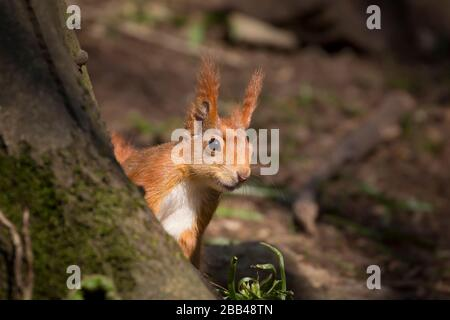 Front view close up, cute wild UK red squirrel animal (Sciurus vulgaris) isolated in natural woodland sunshine hiding behind tree. British wildlife.