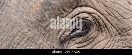 India, Madhya Pradesh, Bandhavgarh National Park. Asian elephant, head detail.