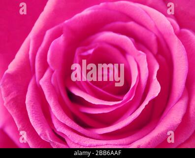 Close up of beautiful pink rose. Can be used as background - Stock Photo