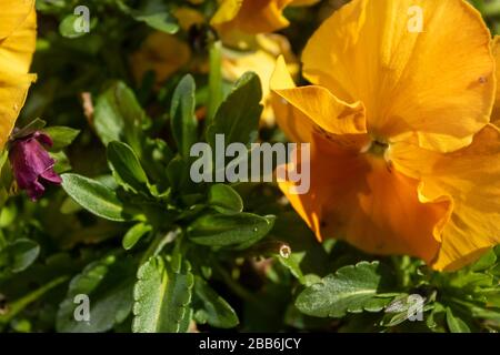 Close up pansy flowers in spring with dew on the petals - Stock Photo