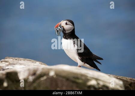 Common or Atlantic Puffin Fratercula arctica close up in profile with a bill full of sand eels on a rock on the Farne Islands, Northumberland U.K. - Stock Photo