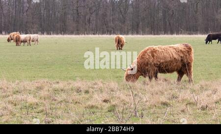 A highland cow grazing with other cows in the background - Stock Photo