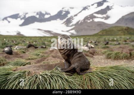 Fur Seal Pup, South Georgia