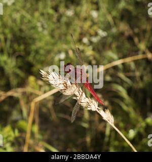 Various species of dragonflies on the banks of the Ain River in France. - Stock Photo