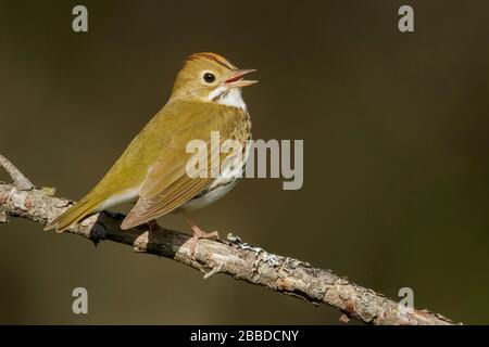 Ovenbird (Seiurus aurocapillus) perched on a branch in Ontario, Canada. - Stock Photo