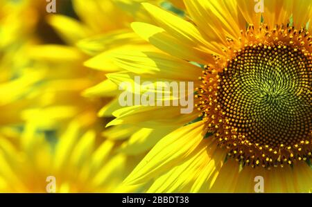 beautiful sunflower (helianthus annuus) blooming in the field, in spring time - Stock Photo