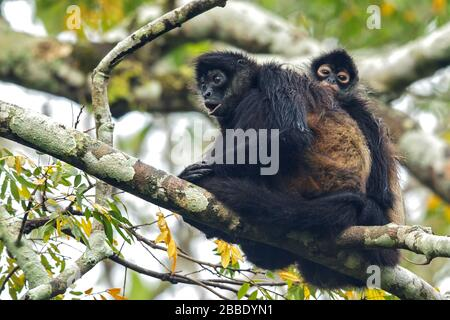 Spider Monkey, Simia paniscus, perched on a branch in Guatemala in Central America - Stock Photo