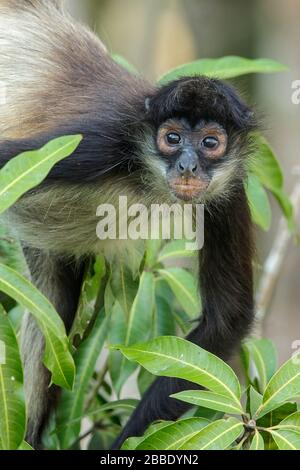 Spider Monkey, Simia paniscus perched on a branch in Guatemala in Central America - Stock Photo