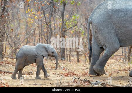 African elephant (Loxodonta africana) calf walking behind mother in bush, Kruger National Park, Transvaal, South Africa. - Stock Photo
