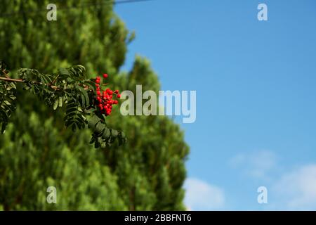 Red berries hanging from a branch with trees and blue sky in the background