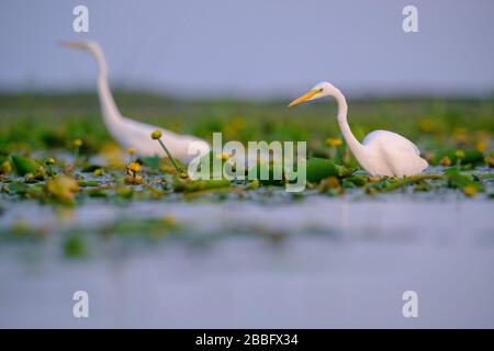 Great White Egret (Ardea alba) adult in habitat. Nemunas Delta. Lithuania. - Stock Photo