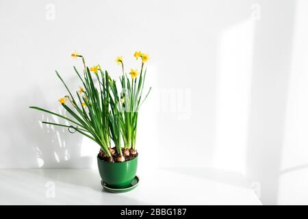 Green flower pot with fresh narcissus on white table background. Beautiful sun light, spring concept. Empty place for text or sign.