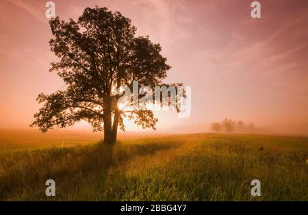 oak tree on a misty morning in Birds Hill Provincial Park, Manitoba, Canada - Stock Photo