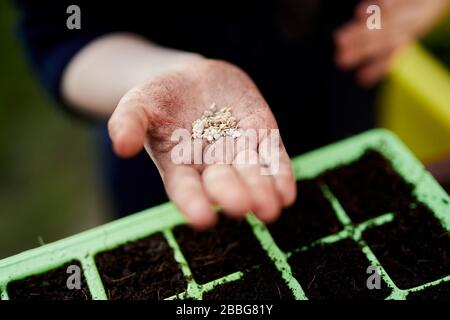 A pair of Primary school aged children hands holding plant seeds above green plastic seed trays
