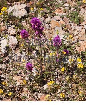 Owl Clover, Owl's Clover, Castilleja exserta ssp. exserta, Orthocarpus purpurascens Castilleja, in New Mexico, USA - Stock Photo