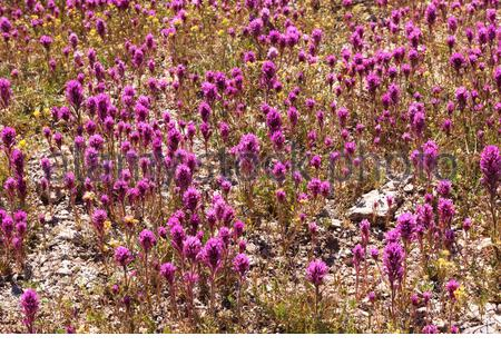 Owl Clover, Owl's Clover, Castilleja exserta ssp. exserta, Orthocarpus purpurascens Castilleja, in New Mexico, USA - Stock Photo
