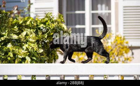 Sweet young fit elegant black cat walking on a white fence sunny weather - house window in background Stock Photo